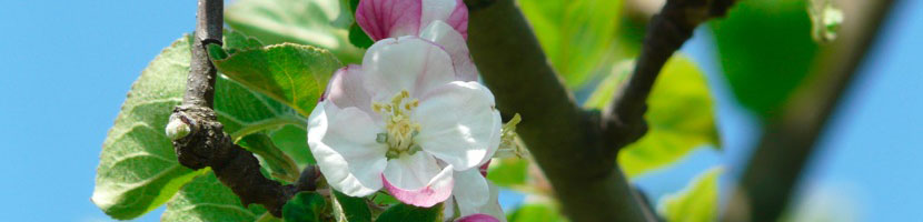 Crab-apple-la-fleur-de-la-purification.jpg